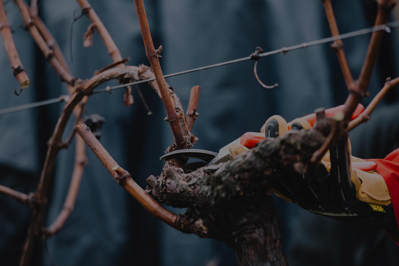 Guyot Vine Pruner Course